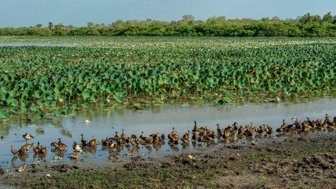 kakadu - mamukala wetland (3).jpg