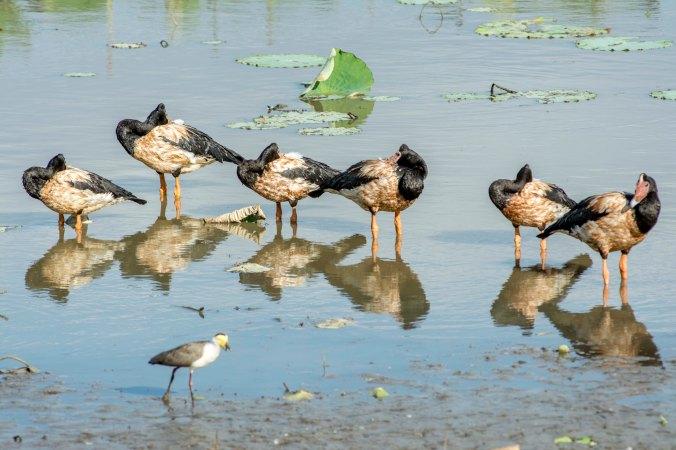 kakadu - mamukala wetland (4) magpie geese.jpg