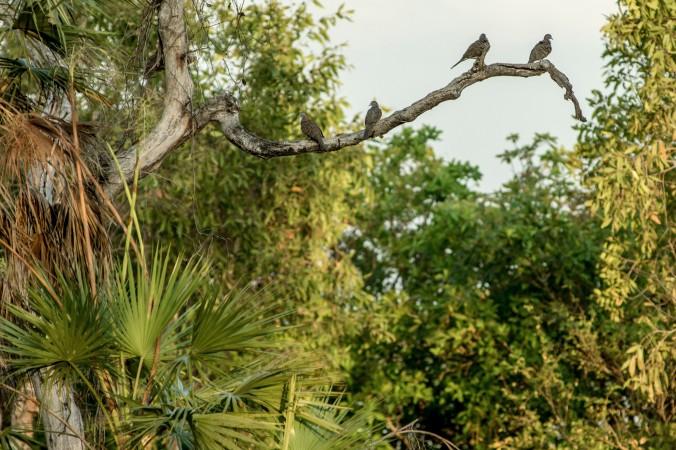 kakadu - mamukala wetland - bar shouldered doves.jpg