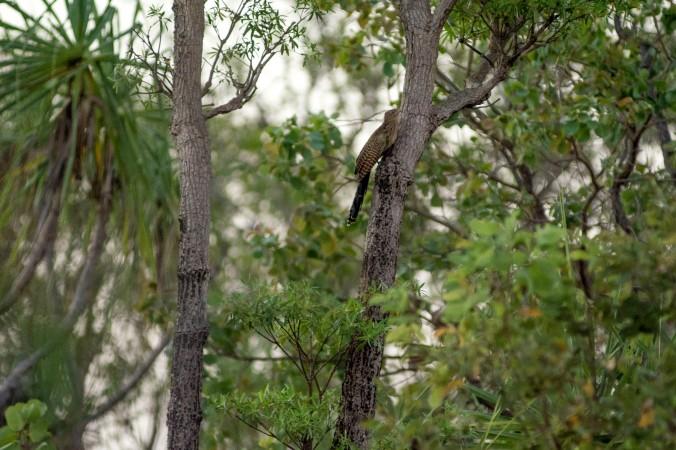 kakadu - pheasant coucal.jpg