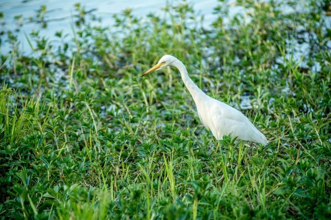 kakadu - yellow water - intermediate egret.jpg